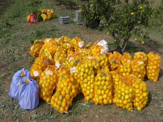 Obiranje mandarin v dolini Neretve